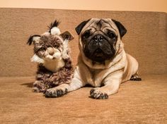 My humans adopted symbolically a lynx via WWF Romania 🐼 I think I'll never meet my stepbrother but at least I have this new friend that looks like him 😂🤗 #mauricethepug #wwf #luckyme #newfamilymember #stepbrother #brother #adopt #lynx #wwf-romania #worldwildlifefound #wwfromania #puglife #pugchat #pug #mops #dog #puppy