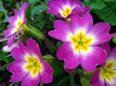 Purple Primrose-February Birth Flower