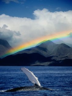 rainbow and whale; a sight that can be viewed in Maui in the winter...