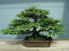 This is a bonsai made from a coastal redwood.