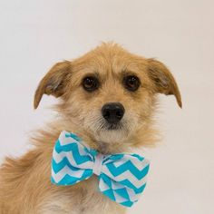 2015. This handsome gentleman is all dressed up with no where to go!  Lets help him find his forever home.  Felix is a 2 year old terrier mix who LOVES other dogs and cats as well! He is very quiet and well mannered on leash and in the house.