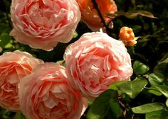 Rosa 'Tamora' Photo:  This Photo was uploaded by HoovB. Find other Rosa 'Tamora' pictures and photos or upload your own with Photobucket free image and v...