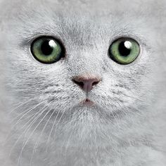 """""""The dog may be wonderful prose, but only the cat is poetry. What's New Pussycat, Curious Cat, Cat Face, Cat Eyes, Russian Blue, All About Cats, Grey Cats, Beautiful Creatures, Pet Birds"""