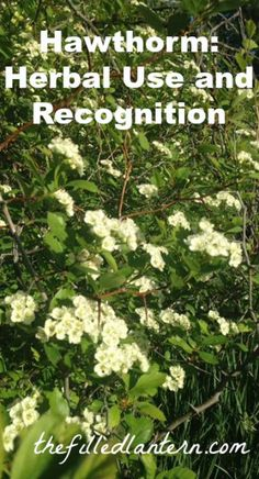 Hawthorn: Herbal Use and Recognition