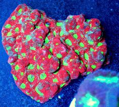 3.5X3 BAD TO THE BONE ULTRA RED MULTICOLORED SCREAMIN YELLOW EYED AUSTRALIAN WAR CORAL FAVITES Bioluminescent Animals, Corals For Sale, Beautiful Sea Creatures, Bad To The Bone, Yellow Eyes, Shutter Speed, Animals And Pets, War, Deviantart