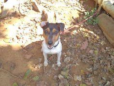 TERRIER BRASILEIRO (FOX PAULISTINHA) Canil Pedra de Guaratiba - Desde 1990! GOOBER FARIA! Proprietário: Marcílio. Facebook: http://pt-br.facebook/canilpedradeguaratiba  Instagram: http://instagram.com/canilpguaratiba  #canilpedradeguaratiba  #foxpaulistinha  #terrierbrasileiro
