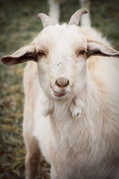 Goats are my favorite.