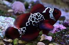 Lightning Maroon Clownfish: The lightning Maroon Clownfish is a one of a kind truly stunning clown fish that was caught of Papua New Guinea.