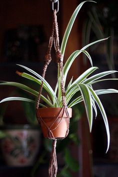 Spider plant with macrame hanger