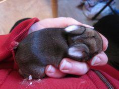 chestnut baby bunny Baby Bunnies, Bunny, New Hobbies, Rabbit, Animals, Rabbits, Animaux, Hare, Animal