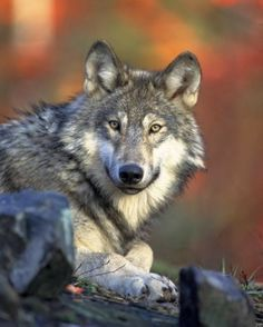 Mexican Gray Wolf Population on a Rise in Southwestern Region