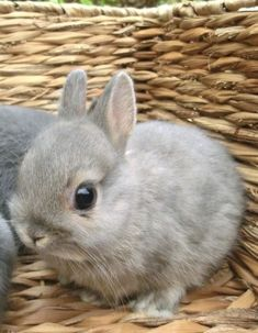 More Adorable tiny gray netherland dwarf bunny! Baby Animals Pictures, Cute Animal Pictures, Animals And Pets, Funny Animals, Pictures Of Baby Bunnies, Cute Baby Bunnies, Cute Babies, Funny Bunnies, Netherland Dwarf Bunny