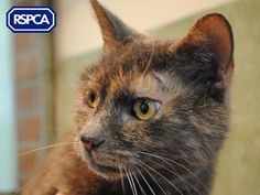 Arabella, Domestic Shorthair crossbreed cat, 9 Years, South Yorkshire Animal Centre South Yorkshire, Pet Search, Sadie, Centre, Adoption, Wildlife, Cats, Animals, Foster Care Adoption