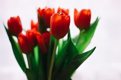 red orange tulips flowers fauna green leaves stem pretty minimal background white