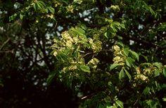 Mezei szil (Ulmus minor, Ulmaceae) (Turcsányi Gábor felvétele) lependék termés Dandelion, Flowers, Plants, Blue Prints, Dandelions, Florals, Planters, Flower, Blossoms