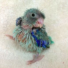 Parrotlet Babies: New Baby Parrotlet Photos - 2 - 3 1/2 weeks!