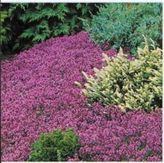 creeping thyme lowes - Bing images