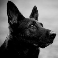 German sheperd.@user