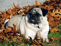 You are never too old to play in the leaves!! #pug #dog #leaves #fall #play #cute Grumble Of Pugs, Pug Photos, Pug Mug, Carlin, Brussels Griffon, Cute Pugs, Pekingese, Animal Care, Pug Love