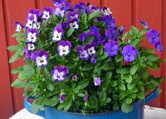 flo Flowers, Plants, Flora, Royal Icing Flowers, Floral, Plant, Florals, Flower, Bloemen