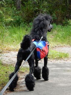 Pudel / Poodle Kuro from Sweden Poodle Grooming, Dog Grooming, Pony, Best Friends, Standard Poodles, Dog Things, Sweden, Dutch, Animals