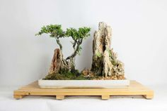 Kingsville Boxwood Bonsai landscape composition, cultivated and styled by Leonard by LiveBonsaiTree on Etsy