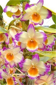 60Pcs Dendrobium Seeds Japanese Rhynchostylis Rare Phalaenopsis Orchid-seedlings Garden & Home Planting Indoor Plant Flower Seed