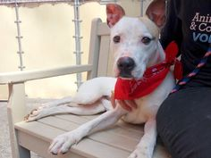 TO BE DESTROYED - TUESDAY - 5/20/14 Manhattan Center -P  My name is SAMMIE. My Animal ID # is A0999214. I am a male white and brown pit bull mix. The shelter thinks I am about 1 YEAR   I came in the shelter as a STRAY on 05/09/2014 from NY 10453, owner surrender reason stated was STRAY.