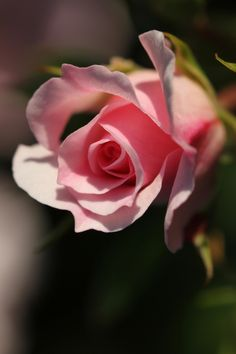 sir20:  Pink rose by sir20
