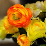 Lovely ranunculus