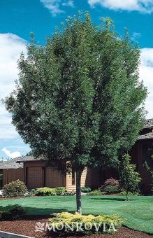 The bold round-headed form is perfect to cast summer shade. Dark green foliage turns attractive wine red in fall. Resistant to the Ash blight. Fast Growing Evergreens, Monrovia Plants, Plant Catalogs, Garden Deco, Evergreen Trees, Shade Trees, Growing Tree, Fence