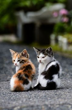 Cat Care Kittens A calico kitten and a dotted friend Cute Baby Animals, Animals And Pets, Funny Animals, Funny Cats, Animals Photos, Cute Cats And Kittens, Baby Cats, Kittens Cutest Baby, Beautiful Cats