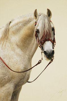 •.♡.• Fleabitten Grey Arabian