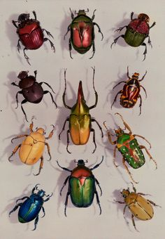 A group of scarabs from the Scarabaeid family, July 1929, photograph by Edwin L. Wisherd, National Geographic