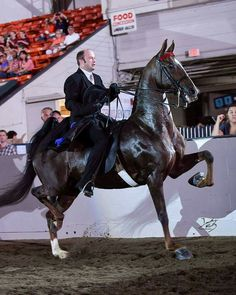 Give Me the Moon and Kyle Peel 3 Gaited Open Champions English Tack, American Saddlebred, Beautiful Horses, Equestrian, Champion, Moon, Animals, Beauty, Pretty Horses
