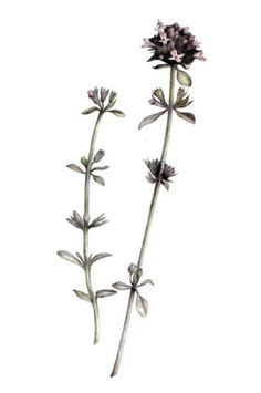 botanical drawing of thyme - tattoo ideas