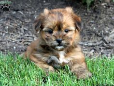Yorkie + Shi Tzu = Cute Shorkie :) want one! Shorkie Puppies For Sale, Little Puppies, Cute Puppies, I Love Dogs, Puppy Love, Teacup Dogs, Greenfield Puppies, Therapy Dogs