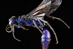 Chlorion aerarium, the Steel Blue Cricket Hunter, a wasp found in Cumberland, Maryland. (CC BY USGS/Sam Droege)
