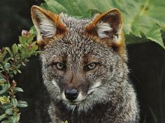 Darwin's Fox - Lives in Chile, Critically endangered, there are only an estimated 300 Darwin's foxes left in the wild. Loss of habitat, feral dogs, and HUMANS are the greatest threats. Coyotes, Animal Intelligence, Fox Farm, Small Wild Cats, Wild Dogs, Endangered Species, Darwin, Animal Kingdom, Animals And Pets