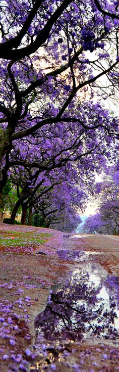 Jacaranda Trees in Bloom ~ Pretoria, South Africa