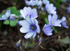 Растения для тени. сайт о садах северо-запада