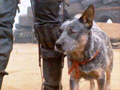 Dog, Mad Max's Blue Heeler