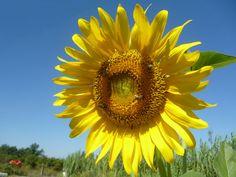 Προσφέρει μέλι σε μεγάλες ποσότητες αλλά παρατηρείται φθορά, των μελισσιών που συλλέγουν στο φυτό αυτό.