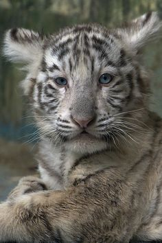 tigerbab by Jutta Kirchner - White Tiger Cub