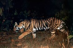 partially melanistic Tiger (Panthera tigris) - About as close to a Black Tiger as has been reliably documented.