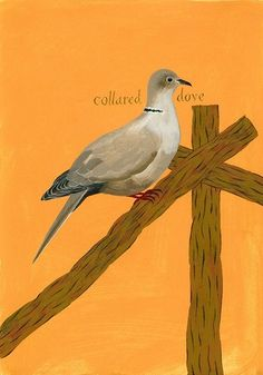 'Collared dove' by Jeffrey Fisher