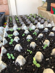 Growing zinnias and hollyhocks in egg carton we saw results after 6 days Backyard Planters, Zinnia Garden, Healthy Fruits And Vegetables, Peat Moss, Diy Greenhouse, Organic Fertilizer, Hollyhock, Gnome Garden, Back Gardens