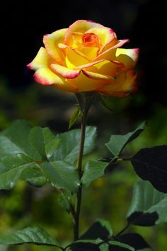 Yellow Rose with a touch of pink Exotic Flowers, Amazing Flowers, Beautiful Roses, Beautiful Flowers, Rose Pictures, Flower Photos, Yellow Roses, Red Roses, Rose Of Sharon