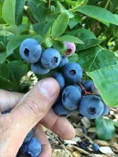 Highbush Blueberry, Plum, Fruit