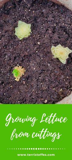 Use your lettuce twice!  Don't throw away those ends, plant them!  #recyclegardening #gardening #cutting #lettuce #saladbowlgardening